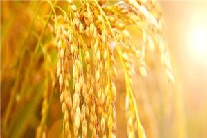 Nguyên tắc kế toán chi phí dở dang trong ngành nông nghiệp theo Thông tư 133